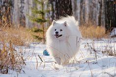japanese spitz Spitz Breeds, Spitz Dogs, Cute Fluffy Dogs, Japanese Spitz, American Eskimo Dog, Chloe Grace, Primitives, Dog Stuff, Dogs And Puppies