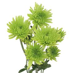 Green cushion chrysanthemum
