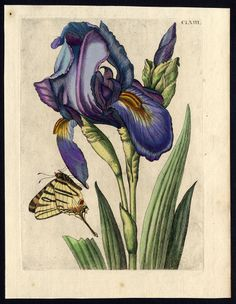 Antique Print-INSECTS-IRIS-IRIDACEAE-BROAD LEAVED-MOTH-pl. 163-Merian-1730