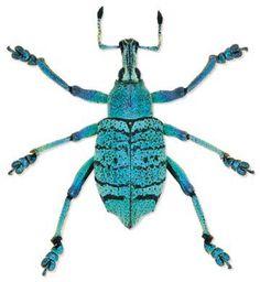 Eupholus quintaenia Location: Papua New Guinea Size:2.3 cm