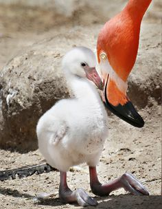 A Mother's Touch | por WisteriaLane, Baby Flamingo