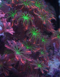 Clove polyps coral