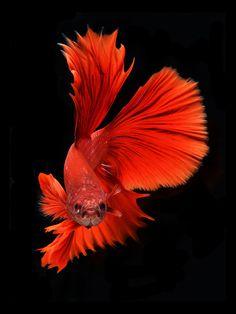 Red - Betta fish, siamese fighting fish / Visarute Angkatavanich