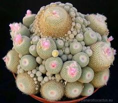 Incredibly beautiful cactus/plant from Argentina. Shared by the Sociedad Argentina de Horticultura.