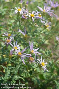 Aster ledophyllus | Cascade aster | Wildflowers