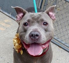 SAFE❤️❤️ 10/5/16 SUPER URGENT Manhattan Center STORM – A1091786 **SAFER: AVERAGE HOME** FEMALE, GRAY / WHITE, PIT BULL, 8 yrs OWNER SUR – AVAILABLE, NO HOLD Reason ALLERGIES Intake condition UNSPECIFIE Intake Date 09/29/2016, From NY 10467, DueOut Date10/06/2016