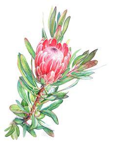 Botanical Flowers, Flowers Nature, Botanical Prints, Watercolor Flowers, Watercolor Paintings, Watercolour, Vine Tattoos, Protea Flower, Australian Native Flowers