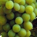 Witte druif 'Vroege van der Laan'