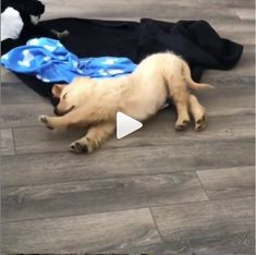 A Dozen Goldendoodle Puppies Take Over This House! Cute Cats, Funny Cats, Dancing Cat, Dogs Golden Retriever, Small Dog Breeds, Goldendoodle, Tumblr Funny, Dog Love, Cute Puppies
