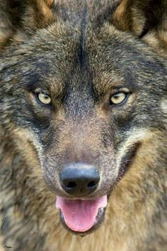 Ahh Beautiful  Wolf Stay Wild and Free.