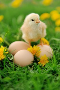 Baby Animals in Spring Farm Animals, Animals And Pets, Cute Animals, Pollo Animal, Beautiful Birds, Animals Beautiful, Easter Wallpaper, Iphone Wallpaper, Chicken Chick