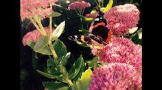 Jetzt ist Eile geboten: Für viele Schmetterlinge, bietet der Herbst noch ein letztes Mal die Möglichkeit, alle Energiereserven für die bevorstehende kalte Winterzeit aufzufüllen. #JG