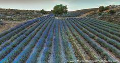 Photographer Lavender Field VI, Brihuega (Spain) by Michel Bricteux on 500px