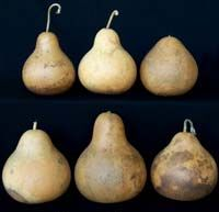 pear gourds