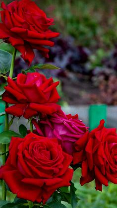45 Best Red Roses Images Red Roses Beautiful Roses Beautiful