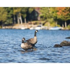 Canada geese at rocky rest stop on Harris Bay of Lake George in the Adirondack Mountains of New York in color photo 201410030-018X