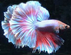 On the other end of the spectrum, the half moon Betta fish is the rarest of Betta's. Description from bettafishlovers17.blogspot.com. I searched for this on bing.com/images
