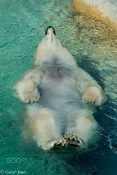 Staying Cool - Floating Swimming Polar Bear by Gareth Jones on 500px