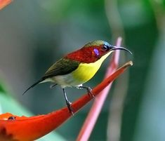 The Handsome Sunbird (Aethopyga bella) is a species of bird in the Nectariniidae family. It is endemic to the Philippines.