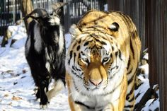 Zookeepers gave a tiger a live goat to eat... but they made friends instead