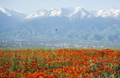 The fields of blooming poppies on the outskirts of the former capital of Kazakhstan, Almaty.
