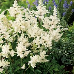 Astilbe hybrid Astilbe White is a hardy perennial with long flower stems made up of feathery snow white plumes of individual flowers. Suitable for waterside White Gardens, Farm Gardens, Landscaping Shrubs, Garden Express, Long Flowers, Astilbe, Hardy Perennials, Planting Bulbs, Trees And Shrubs
