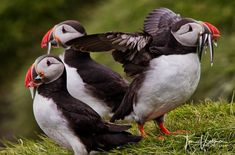 My favourite bird Atlantic puffin :-) I wish you a nice weekend my friends