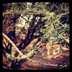 Distinguishable pod of #Acacia tortilis   ينفرد كل نوع من السمر بشكل الزهرة والثمرة، هذا السمر من نوع acacia tortilis حيث يتواجد ١٣ نوع من السمر المستوطن في #عمان