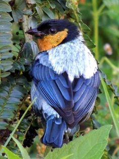 Silver-backed Tanager, Tangara viridicollis: EC/ PE/ BO. Peru Aves | Peru Birds // www.peruaves.org