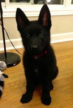 Black German Shepard!