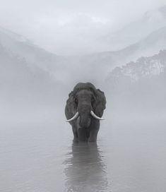 Elefant in the fog . Image Elephant, Elephant Love, Elephants Photos, Save The Elephants, Baby Elephants, Nature Animals, Animals And Pets, Cute Animals, Beautiful Creatures