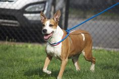Meet LAYLA a Petfinder adoptable Terrier Dog | Philadelphia, PA | Say hello to Layla!  Layla (A22499970) is a senior, female Labrador/ pit bull terrier mix. Layla...