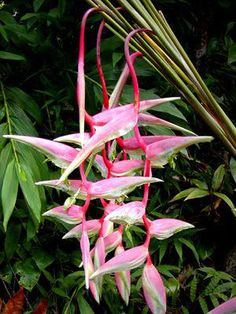 Heliconia – Tropical flower with large very dramatic flowerheads. Several different types available Unusual Flowers, Unusual Plants, Exotic Plants, All Flowers, Amazing Flowers, Beautiful Flowers, Hawaiian Flowers, Tropical Flowers, Tropical Garden