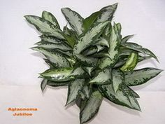 """Aglaonema jubilee: To help keep your Aglaonema full and bushy, remove some of the new leaves as they appear. Do this by firmly grasping the stem the new leaf grows from and hold the new leaf near its base and gently pull. It should come out entirely and this is preferred. Whenever possible, use your hands not scissors. Leaves, stems etc. should be removed completely with no """"stump"""" left behind. Wounds on a plant allow for entry of disease and can attract insects."""