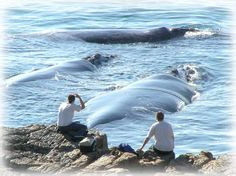 Whale Watching in Hermanus, Western Cape, Southern Africa. Hermanus is known as the land based whale capital of the world! Southern Right Whales can be watched from the beach or the cliff pathways between June and November. Le Cap, To Infinity And Beyond, Whale Watching, Africa Travel, Countries Of The World, Marine Life, Cape Town, Land Scape, Places To See