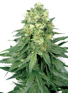 This is a review on White Widow Feminised which is a strain bred by White Label. White Widow Feminised is an is an all-female strain which means it will produce only female plants.