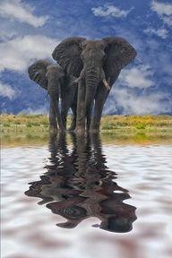 Reflection of elephants.