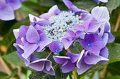 33582 | Hydrangea macrophylla 'ranice nizza' | By: Clive Nichols | Flickr - Photo Sharing!