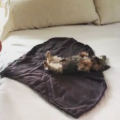 Yorkie burrito to help us all make it to (IG: finn_therapy) Cute Funny Animals, Cute Baby Animals, Animals And Pets, Funny Babies, Funny Dogs, Funny Memes, Cute Puppies, Cute Dogs, Yorkies