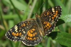 The Phaon Crescent has a cream band on each forewing (Phyciodes phaon). Insects, Band, Cream, Nature, Animals, Creme Caramel, Animales, Sash, Animaux