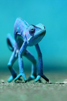 you can be anything you want to / blue chameleon / animals / nature Nature Animals, Animals And Pets, Funny Animals, Cute Animals, Baby Animals, Reptiles Et Amphibiens, Mammals, Reptiles Preschool, Beautiful Creatures