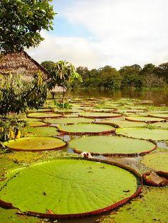 Nuestro bello pedacito del Amazonas.
