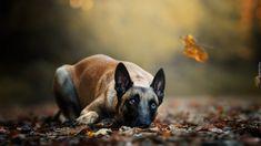 Leżący, Pies, Owczarek belgijski Malinois, Liście