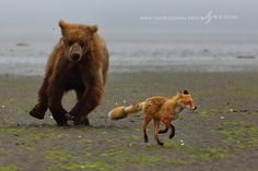 Red Fox and Bear