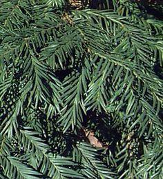 Taxus baccata 'Repandens'.  Krypidegran.