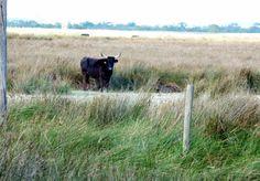 Wild Bulls of the Camargue