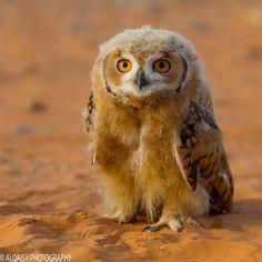 """animalkingd0m: """"OWL by faisl alqaysi """""""