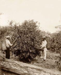 Escravos na colheita do café, Rio de Janeiro, 1882 (Marc Ferrez_Acervo Instituto Moreira Salles)