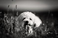 Dog photography | Pet photography | Dog photographers | #dogphotography #petphotogtaphy #bichon #lavender #norwaydog #oslo #bergen #norwayphotographer #deutschland #hundefotografie #austria #blackandwhite #bw Dog Photography, Photography Portfolio, Bergen, Oslo, Dog Lovers, Photo And Video, Dogs, Animals, Instagram