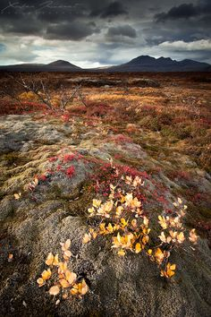 Colors of the fall at Thingvellir in Iceland, in october. Everything was red, orange, yellow and gold all around me. The typically icelandic dark grey sky helped the revelation of all these colors.
